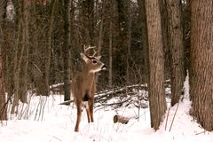White-tail buck in winter Royalty Free Stock Images