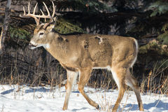 White Tail Buck in winter Stock Photo