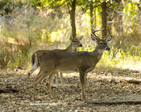 White tail couple Stock Images