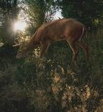 White Tail Deer. A cautious white tail deer is feeding on a forest hillside which sparkles in the evening sunlight breaking through the trees Stock Images