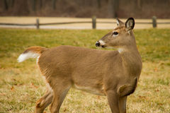White Tail Deer Royalty Free Stock Image