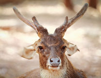 White-tail deer Stock Images