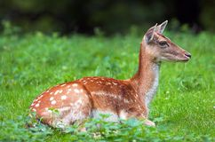 White-tail deer Stock Image