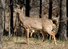White-tail Deer Royalty Free Stock Photo