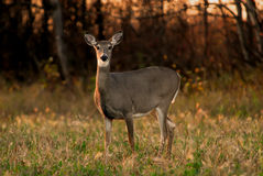 White Tail Deer Autumn. Alert White Tail Deer, side lighting, autumn Royalty Free Stock Photo