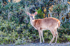 White tail deer bambi. In the wild Royalty Free Stock Photo