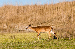White tail deer bambi. In the wild Royalty Free Stock Photos