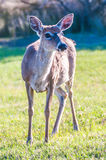 White tail deer bambi Royalty Free Stock Photos