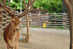 White Tail Deer Buck Royalty Free Stock Images