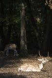 White Tail Deer Buck Royalty Free Stock Photo