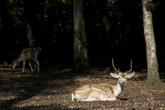 White Tail Deer Buck Royalty Free Stock Image