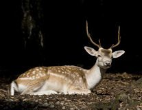 White Tail Deer Buck Stock Photography