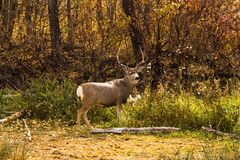White Tail Deer Buck in Autumn stock photos