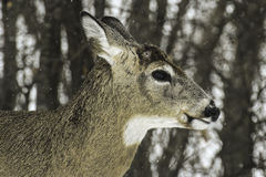 White tail deer buck Stock Image