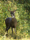 White Tail Deer Buck Stock Photos