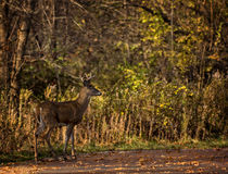 White Tail Deer Buck Stock Photo
