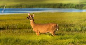 White Tail Deer caught on the Marsh royalty free stock images