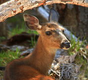 White Tail Deer Close Up Stock Photos