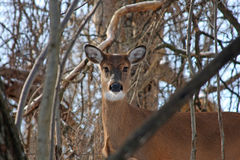 White-tail Deer Doe. Standing In Woods In Morning Sun Royalty Free Stock Images