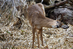 White-tail Deer Doe