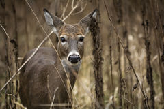 White Tail Deer Doe Stock Images