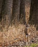 White Tail Deer Doe Royalty Free Stock Photography