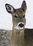 White tail deer doe Stock Photography