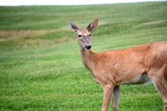 White tail deer Royalty Free Stock Photo