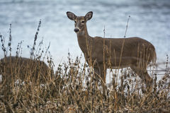 White Tail Deer Doe Stock Image