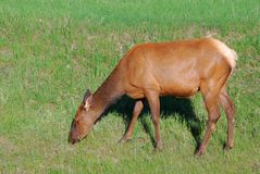 White tail deer eating grass Stock Photo