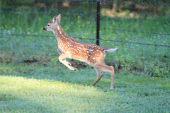 Free White Tail Deer Fawn Jumping Or Running Royalty Free Stock Photography - 73229477