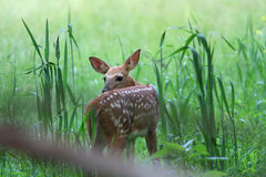 White-tail Deer fawn Royalty Free Stock Photography