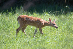 A White Tail Deer Fawn. This fawn perked up its ears when it got my scent. It was grazing in the grass. Male fawns are larger that females. They hide in the Royalty Free Stock Photo