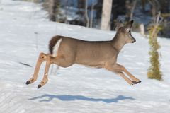 White tail deer fawn running and jumping royalty free stock photo