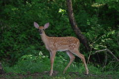 White tail deer Fawn Stock Images