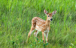 White tail deer fawn standing. White tail fawn standing in grass Royalty Free Stock Photos