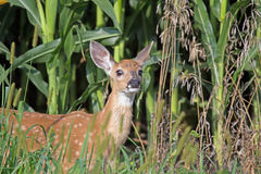 A White Tail Deer Fawn in the Weeds. This deer fawn was in the weeds on the edge of a corn field with its nose in the air Royalty Free Stock Images