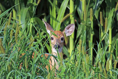 A White Tail Deer Fawn in the Weeds Stock Photo