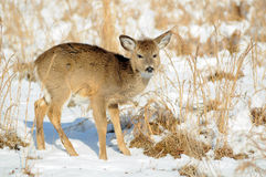 White-tail deer fawn in winter. Deer fawn in the winter snow - looking for food in field royalty free stock images