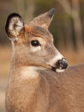 White tail deer female Stock Photo
