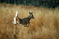 White Tail Deer. A female white tail deer jumping over a fence Stock Images