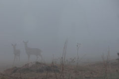 White-tail Deer in the fog. Two White-tail Deer stand cautiously watching on a very foggy morning Royalty Free Stock Photo
