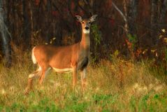 White Tail Deer at Forest. A White-tail deer just emerging from the forest, almost sundown, autumn.  Shot at Birds Hill Park, Manitoba Stock Images