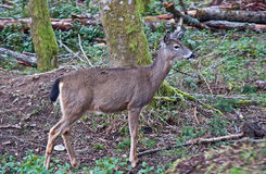 White Tail Deer in Forest Royalty Free Stock Images