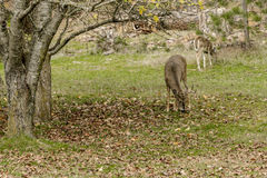 White tail deer grazing in grass. A male white tail deer with antlers searches for food around a tree in Coeur d`Alene, Idaho Stock Photos