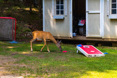 White Tail Deer Having Fun. Curiosity gets the better of this female White Tail Deer, as she looks to join in in a game of Corn-hole stock photography