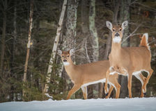 White Tail Deer Royalty Free Stock Photos