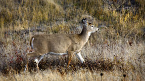 White Tail Deer Meadows Montana Royalty Free Stock Photo