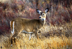 White Tail Deer Montana. White Tail Deer Fall Colors National Bison Range Charlo Montana Stock Photo