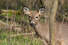 White-tail deer Stock Photo